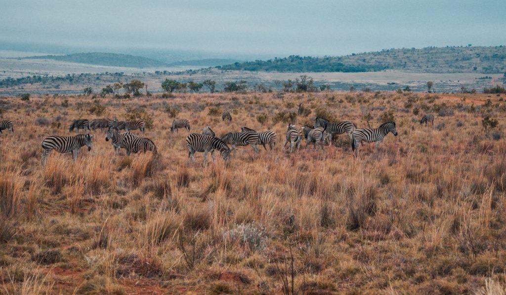 Zebras at a South African Safari